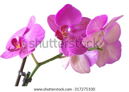 Beautiful orchid in purple colors on a white background - stock photo