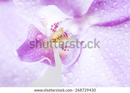 beautiful orchid pink flowers close-up - stock photo
