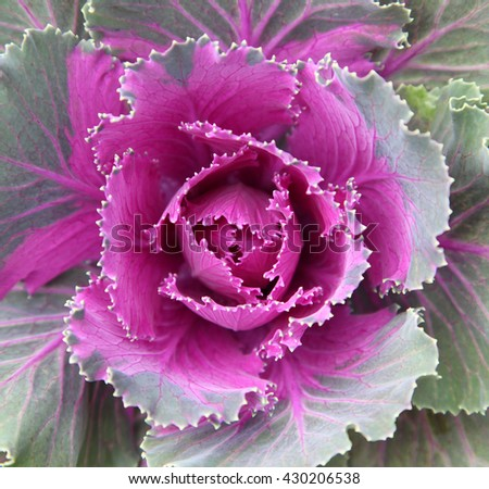 Beautiful ornamental kale or cabbage in garden bed - stock photo