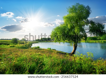 Beautiful osier near calm river in sunny day - stock photo