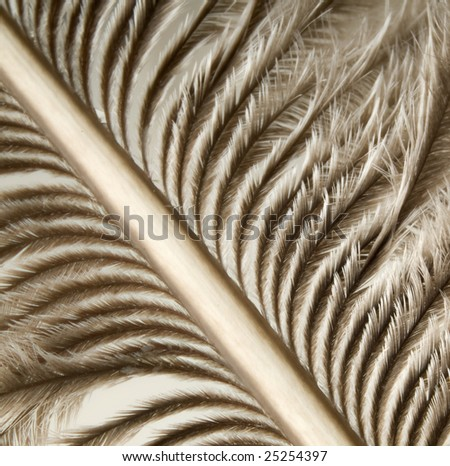Beautiful ostrich feathers macro for background or texture