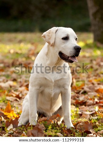 Beautiful outdoor portrait of a labrador retriever - stock photo