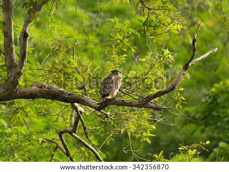 Beautiful Owl bird, Brown Fish Owl standing on branch in nature Process in warm tone - stock photo