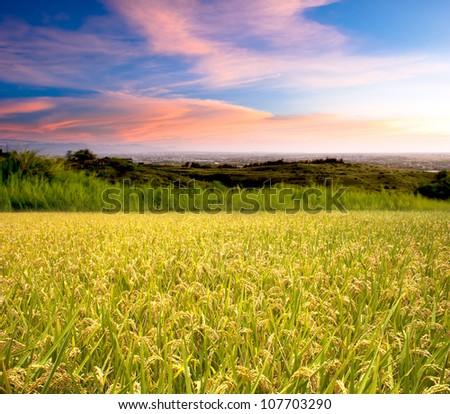 Beautiful paddy with nice background - stock photo