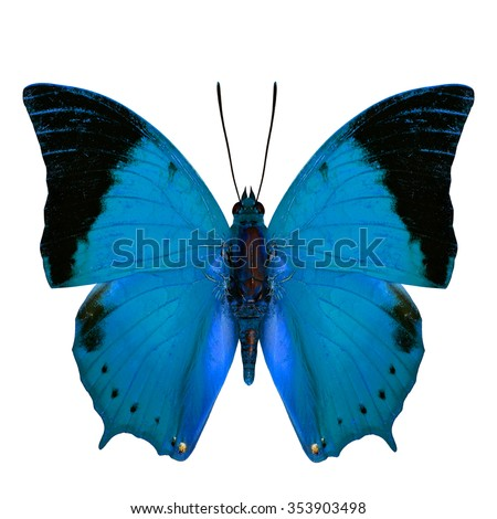 Beautiful Pale Blue Butterfly, the Scarce Tawny Rajah Butterfly (Charaxes aristogiton) in fancy color profile isolated on white background