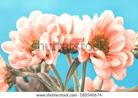 beautiful pale pink flowers on a blue background - stock photo