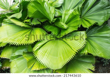 beautiful palm leaves of tree in tropical forest - stock photo