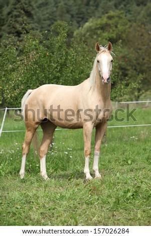 Beautiful palomino horse standing on pasturage in autumn - stock photo