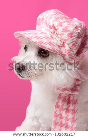 Beautiful pampered dog wearing trendy doggy fashion matching hat and scarf.