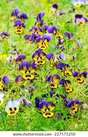 Beautiful pansies flowers in garden - stock photo
