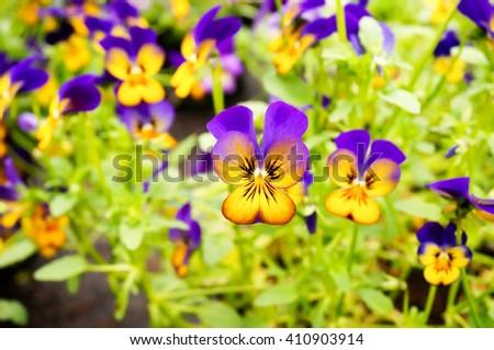 Beautiful pansies in garden. Spring flowers. Garden decoration. - stock photo
