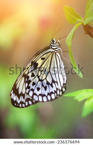 Beautiful paper kite butterfly (tree nymph)  resting on a green leaf - stock photo