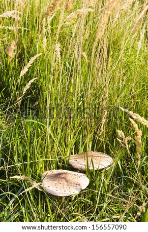 Beautiful parasol mushrooms in grass in autumn time - stock photo