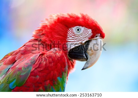 Beautiful parrot bird, Greenwinged Macaw in portrait profile