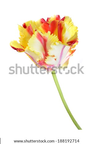 beautiful parrot tulip blooming isolated on white background  - stock photo