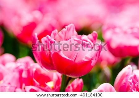 Beautiful parrot tulip with pink petals. shallow focus . - stock photo