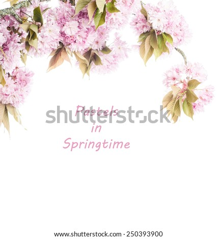 Beautiful pastel pink cherry blossom branch on top of frame, isolated on white background with room or space for copy, text, your words.  Vertical faded - stock photo