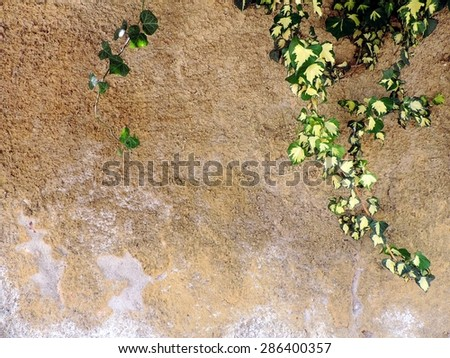 Beautiful pattern of ivy branches on a grungy concrete wall background.