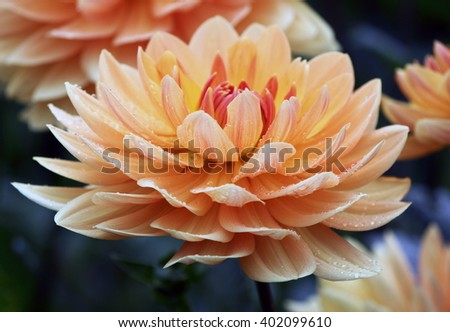 Beautiful peach apricot pastel colored dahlia flower in soft focus - watercolor/ aquarell-like - stock photo