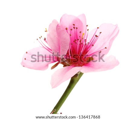 Beautiful peach blossom isolated on white - stock photo