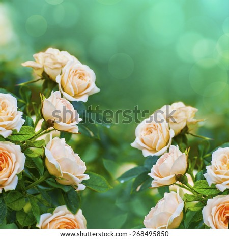 Beautiful peach color roses on blurred background with bokeh - stock photo