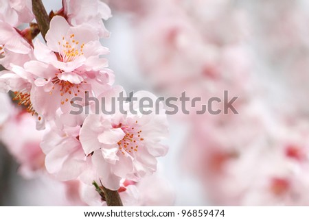 Beautiful peach flowers close up - as background - stock photo
