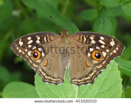 beautiful peacock butterfly perched on green leaf close up. - stock photo