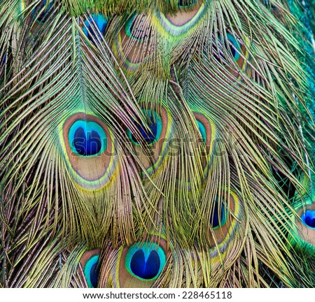 beautiful peacock feathers - stock photo
