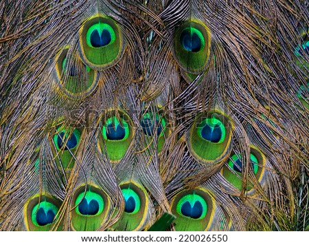 beautiful peacock feathers, belonging to the tail of a male bird - stock photo