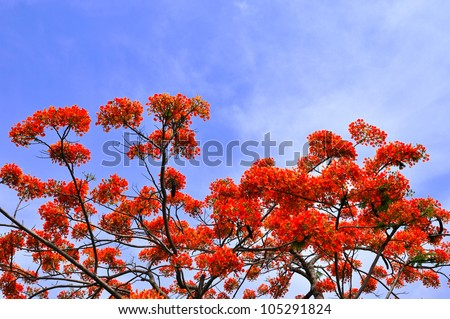 Beautiful peacock flowers with blue sky,Thailand - stock photo