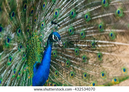 Beautiful peacock portrait with colorful feathers out