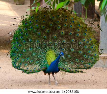 Beautiful peacock with fully fanned tail - stock photo