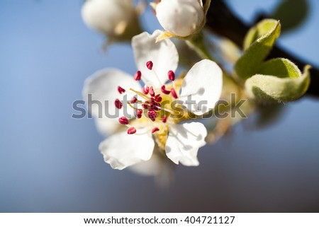 Beautiful pear tree flowers with natural background and soft focus. High resolution and quality