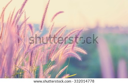 Beautiful  Pennisetum pedicellatum  Flowers add vintage color  for background - stock photo