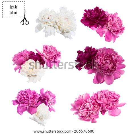 Beautiful peonies flowers isolated on white background - stock photo