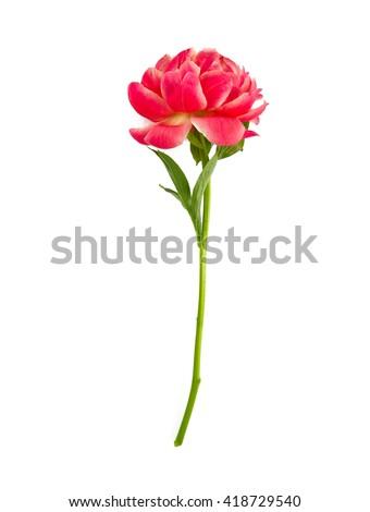 beautiful peonies isolated on white - stock photo