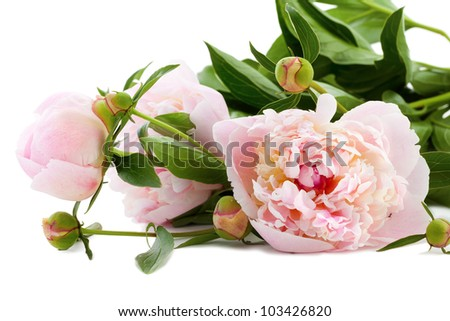 Beautiful Peonies on a white background - stock photo