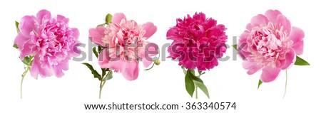 Beautiful peony flowers set isolated on white background - stock photo