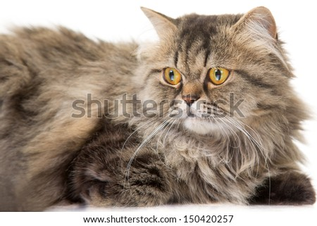 beautiful Persian cat lying on isolated white background