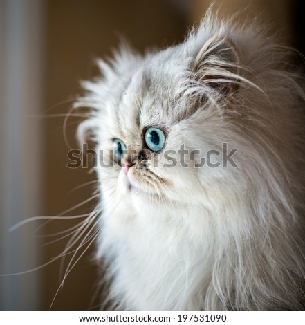 Beautiful Persian cat with white fur and gree-blue eyes - stock photo