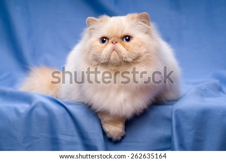Beautiful persian cream colorpoint cat whith blue eyes is lying on a blue textile background - stock photo