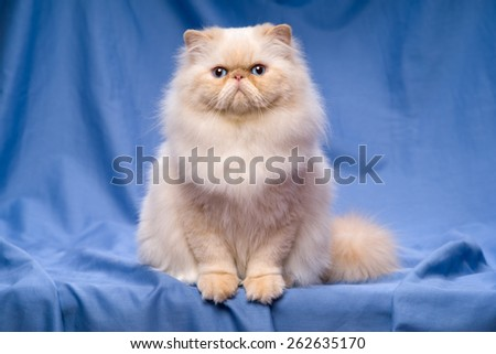 Beautiful persian cream colorpoint cat whith blue eyes is sitting frontal on a blue textile background