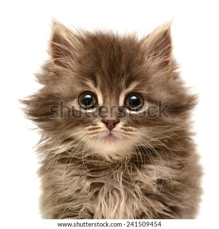 Beautiful persian little kitten isolated on white background - stock photo