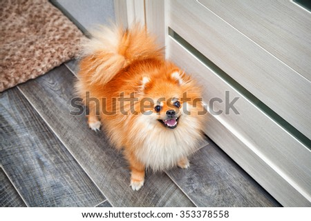 beautiful pet dog standing on the floor in the apartment. Small dog breeds Spitz