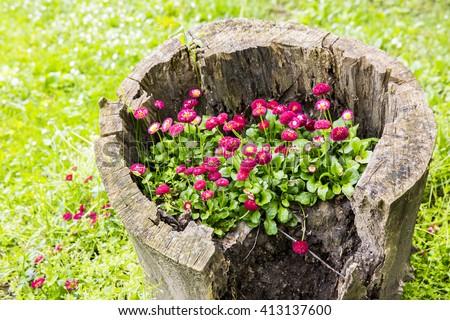 Beautiful Petunia flowers grow on a stump, garden decoration - stock photo