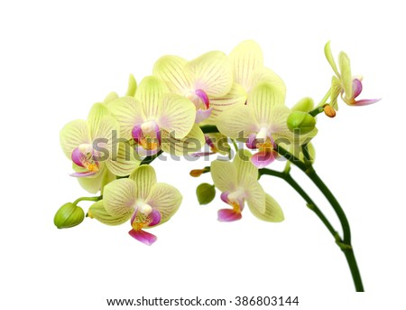 beautiful Phalaenopsis Blume orchid flowers, isolated on white background - stock photo
