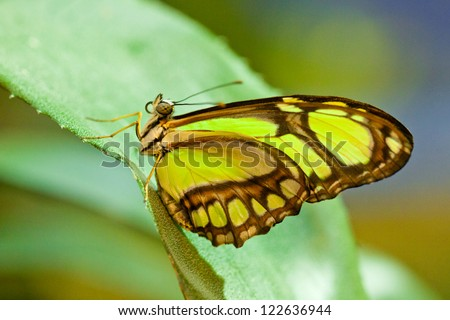 Beautiful philaethria dido butterfly - stock photo