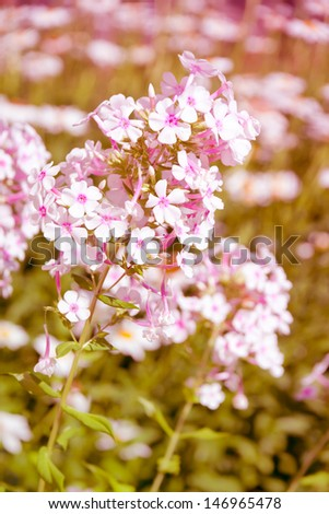Beautiful phlox flowers in a garden. in retro style. selective focus, shallow dof - stock photo