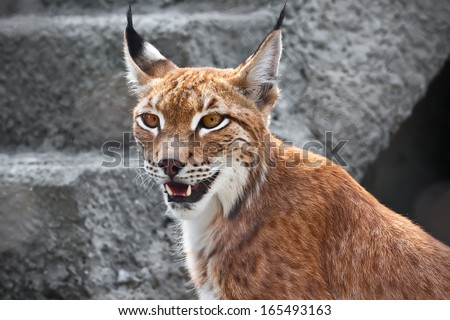 Beautiful photo of graceful big cat Lynx