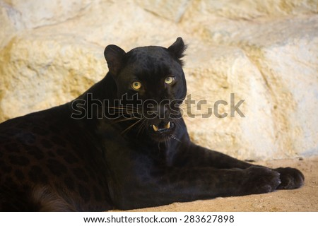 Beautiful photo of graceful black leopard - panther - stock photo